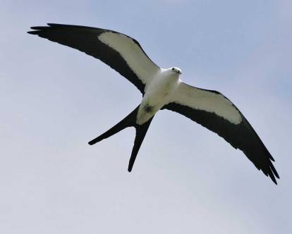 swallow-tailed_kite_s52-12-235_l
